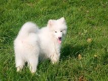 Puppy van Samoed Royalty-vrije Stock Foto's