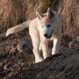 Puppy van schor van Alaska Royalty-vrije Stock Afbeeldingen