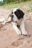 Puppy van St. Bernard Stock Foto