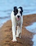 Puppy van waakhondgangen langs zandspit op de kust Stock Foto's