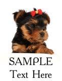 Puppy van Yorkshire terriër die op wit wordt geïsoleerdd Royalty-vrije Stock Afbeelding