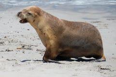 Puppy van zeeleeuwen op het strand Royalty-vrije Stock Afbeeldingen
