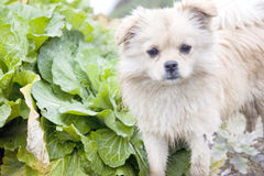 Puppy in a vegetable garden. A puppy is standing in a vegetable garden after running in a farm,water and soil dirtied its pelage Royalty Free Stock Photos