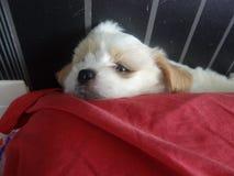 Puppy verbergende plaats Stock Afbeelding