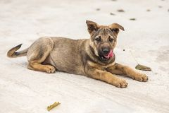Puppy very cute with red tongue. royalty free stock image