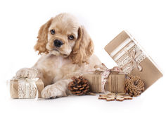 Puppy and  Vintage gift box Stock Photography