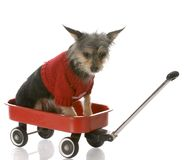 Puppy in a wagon Royalty Free Stock Photo
