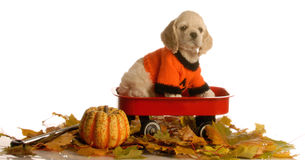Puppy in a wagon. Cocker spaniel puppy sitting in wagon with autumn leaves around stock photo