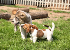 Puppy on walk Stock Images