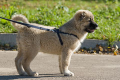 Puppy at walk Royalty Free Stock Photo