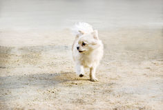 Puppy walking around. A little puppy with color of light brown and white walking around the yard Stock Photography