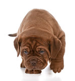 Puppy walking Stock Images