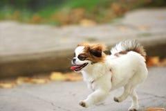 Puppy walking running Royalty Free Stock Photos