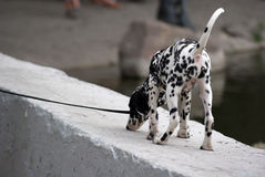 The puppy walks in the park along the pond on the parapet Royalty Free Stock Image