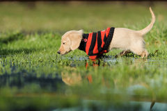 Puppy walks in puddle Stock Image