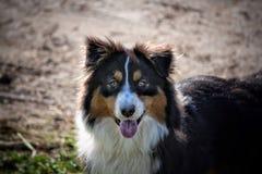 Australian Shepherd dog Stock Image