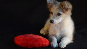 The puppy was lying with heart pillow for Valentine`s Day,tired of playing and yawning. stock video