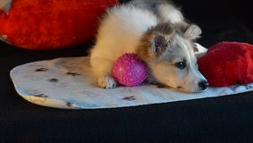 The puppy was lying with toys, didn`t want to play. Black background and heart pillow. stock video footage