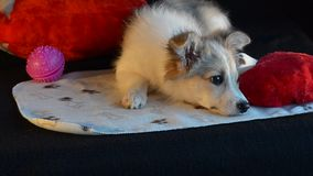 The puppy was lying with toys, didn`t want to play. Black background and heart pillow. stock footage