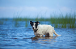 Puppy of watchdog standing in water on the sea. Stock Photography