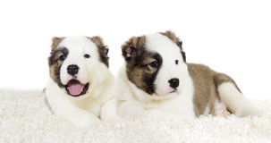 Puppy watching Stock Photography