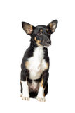 Puppy watching Royalty Free Stock Photography