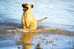 Puppy in Water. Happy puppy dog playing in water Stock Photo