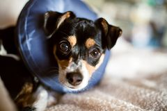 Puppy wearing a blow-up cone of shame dog collar stock photos