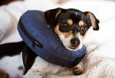 Puppy wearing a blue blow-up cone of shame dog collar stock photos