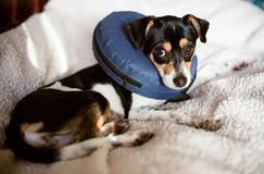 Puppy wearing a blue blow-up cone of shame dog collar stock image