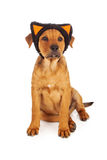 Puppy wearing cat ears for Halloween Stock Photo