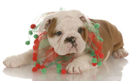 Puppy wearing christmas scarf Stock Image