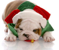 Puppy wearing christmas scarf Stock Photos