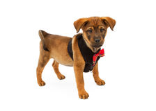 Puppy Wearing Christmas Vest and Tie Royalty Free Stock Photos