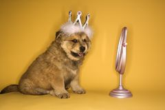 Puppy wearing crown Royalty Free Stock Images