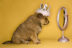 Puppy wearing crown. Stock Photo