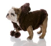 Puppy wearing dog coat Stock Image