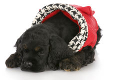 Puppy wearing dog coat Stock Photo