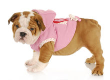 Puppy wearing dog coat Royalty Free Stock Images