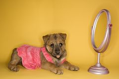 Puppy wearing dress in front of mirror. Royalty Free Stock Photo