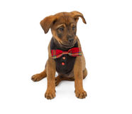 Puppy wearing formal vest and tie Stock Photos