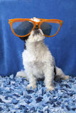 Puppy wearing glasses. Royalty Free Stock Photos