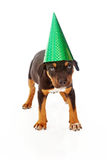 Puppy wearing green party hat Royalty Free Stock Images