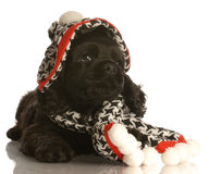 Puppy wearing hat and scarf Stock Images