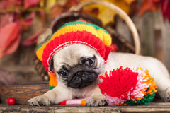 Puppy wearing the knitted hat. Portrait of a puppy Pug wearing the knitted hat Royalty Free Stock Photo
