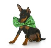 Puppy wearing large bowtie Royalty Free Stock Image