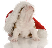 Puppy wearing santa hat Royalty Free Stock Images