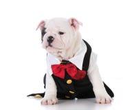 Puppy wearing tuxedo Stock Images