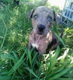 Puppy. 8 week old Catahoula puppy enjoying the shade Stock Photo