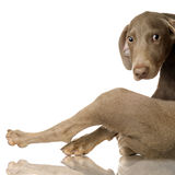 Puppy Weimaraner Royalty Free Stock Images